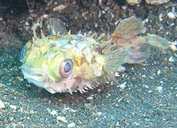 BD-080330-Lembeh-3302337-Cyclichthys-orbicularis-(Bloch.-1785)-[Birdbeak-burrfish].jpg